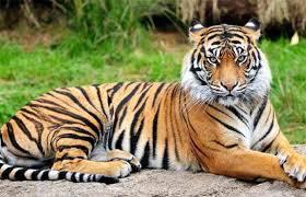 महाराष्ट्रात वाघ सुरक्षित आहेत का ...